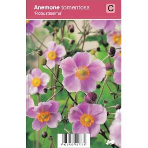 Herfstanemoon (anemone tomentosa Robustissima) najaarsbloeier - 12 stuks