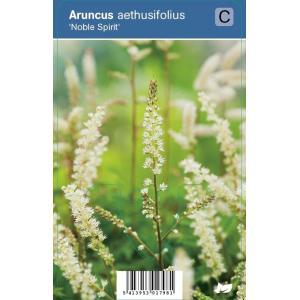 Geitenbaard (aruncus aethusifolius Noble Spirit) schaduwplant - 12 stuks