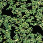 Kleine kroosvaren (Azolla cristata) drijfplant
