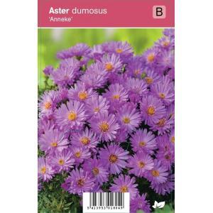 Aster (aster dumosus Anneke) najaarsbloeier - 12 stuks