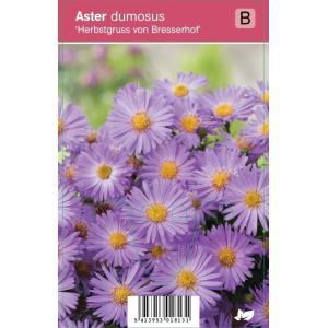 Aster (aster dumosus Herbstgruss vom Bresserhof) najaarsbloeier - 12 stuks