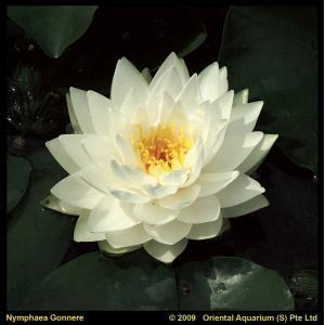 Witte waterlelie (Nymphaea Gonnere) waterlelie - 6 stuks