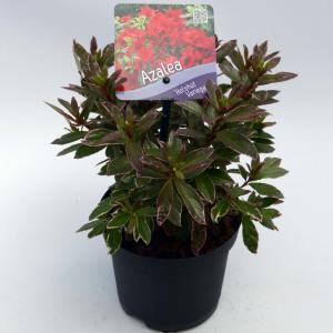 Rododendron (Rhododendron Japonica Hotshot Variegata) heester - 15-20 cm - 8 stuks