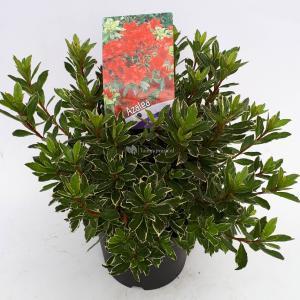 Rododendron (Rhododendron Japonica Hotshot Variegata) heester - 30-35 cm - 1 stuks