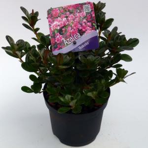 Rododendron (Rhododendron Japonica Rokoko) heester - 15-20 cm - 8 stuks