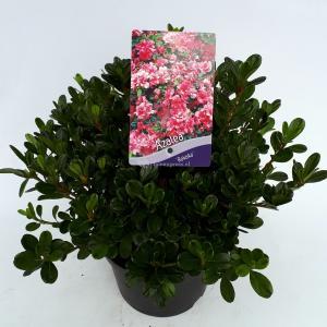 Rododendron (Rhododendron Japonica Rokoko) heester - 30-35 cm - 1 stuks