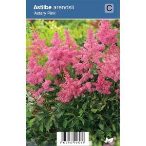 Pluimspirea (astilbe arendsii Astary Pink) schaduwplant - 12 stuks