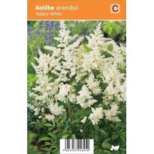 Pluimspirea (astilbe arendsii Astary White) zomerbloeier - 12 stuks