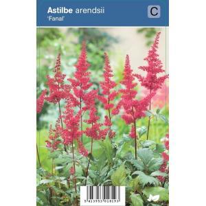 Pluimspirea (astilbe arendsii Fanal) schaduwplant - 12 stuks