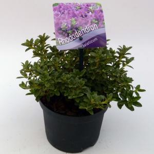 Dwerg rododendron (Rhododendron Calostrotum Keleticum) heester - 15-20 cm - 8 stuks