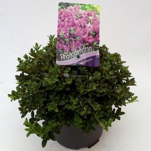 Dwerg rododendron (Rhododendron Calostrotum Keleticum) heester - 20-25 cm - 1 stuks