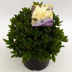 """Dwerg rododendron (Rhododendron """"Golden Wonder"""") heester"""