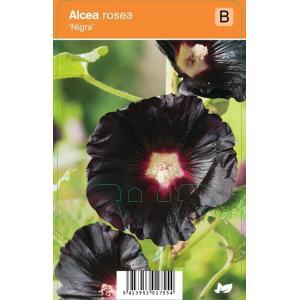 Stokroos (alcea rosea Nigra) zomerbloeier - 12 stuks