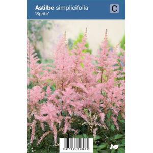 Pluimspirea (astilbe simplicifolia Sprite) schaduwplant - 12 stuks
