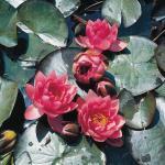 Roze waterlelie (Nymphaea James Brydon) waterlelie