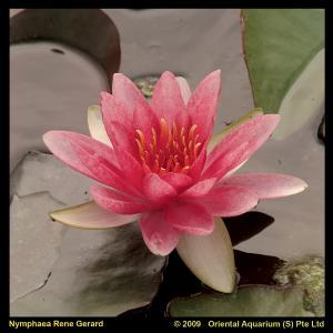 Roze waterlelie (Nymphaea René Gérard) waterlelie - 6 stuks