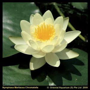 """Gele waterlelie (Nymphaea """"Marliacea Chromatella"""") waterlelie - 6 stuks"""