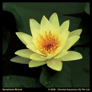 Gele waterlelie (Nymphaea Moorei) waterlelie - 6 stuks