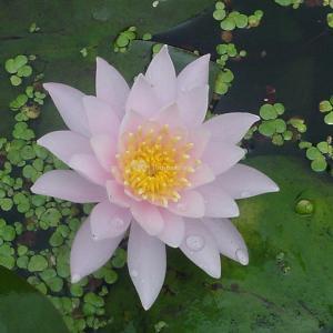 Roze waterlelie (Nymphaea Fabiola) waterlelie - 6 stuks