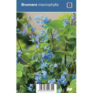Kaukasisch vergeet-mij-nietje (brunnera macrophylla) schaduwplant - 12 stuks