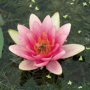 Roze waterlelie (Nymphaea Laydekeri Lilacea) waterlelie - 6 stuks
