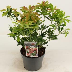 "Rotsheide (Pieris Japonica ""Valley Valentine"") heester - 20-25 cm (C2) - 6 stuks"