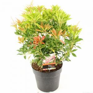 "Rotsheide (Pieris Japonica ""Valley Valentine"") heester - 30-40 cm (C4.5) - 9 stuks"