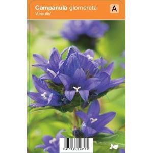 Klokjesbloem (campanula glomerata Acaulis) zomerbloeier - 12 stuks
