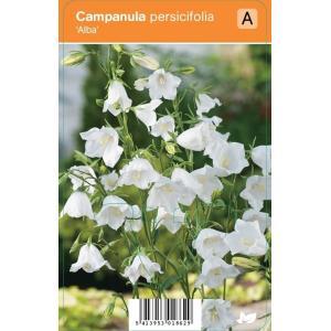 Klokjesbloem (campanula persicifolia Alba) zomerbloeier - 12 stuks