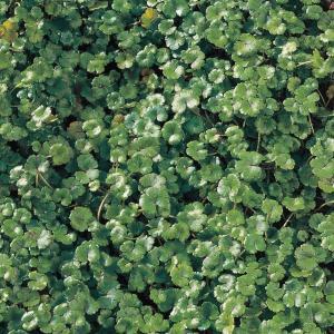 "Waternavel (Hydrocotyle ""Nova-Zealandiae"") zuurstofplant - 10 stuks"