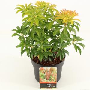 """Rotsheide (Pieris Japonica """"Bonfire"""") heester - 20-25 cm (C2) - 6 stuks"""