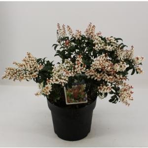 """Rotsheide (Pieris Japonica """"Bonfire"""") heester - 30-40 cm (C4.5) - 9 stuks"""