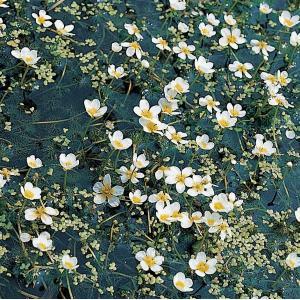 Fijne waterranonkel (Ranunculus aquatilis) zuurstofplant - 10 stuks