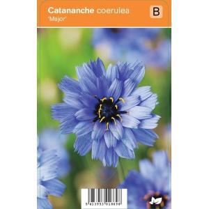 Blauwe strobloem (catananche caerulea Major) zomerbloeier - 12 stuks