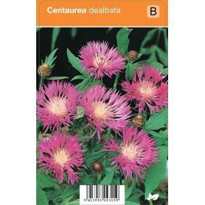 Korenbloem (centaurea dealbata) zomerbloeier - 12 stuks