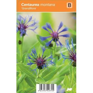 Korenbloem (centaurea montana Grandiflora) zomerbloeier - 12 stuks