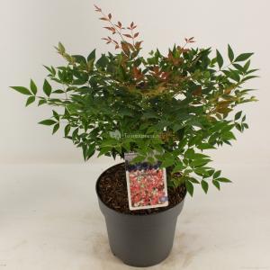"Hemelse bamboe (Nandina domestica ""Gulfstream"") heester - 30-40 cm - 8 stuks"