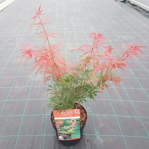 Japanse esdoorn (Acer palmatum Jerre Schwartz) heester