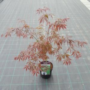 Japanse esdoorn (Acer palmatum Sumi-Nagashi) heester