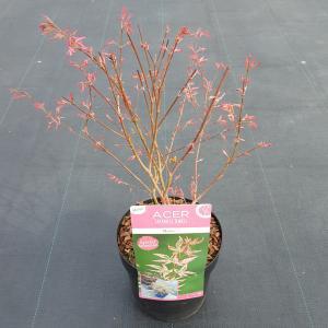 Japanse esdoorn (Acer palmatum Marlo) heester
