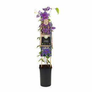 Violet bosrank (Clematis Mrs. N. Thompson) klimplant