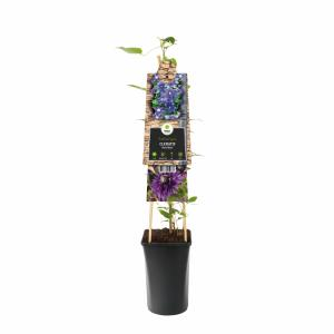 Blauwe bosrank (Clematis Multi Blue) klimplant - 70 cm - 1 stuks