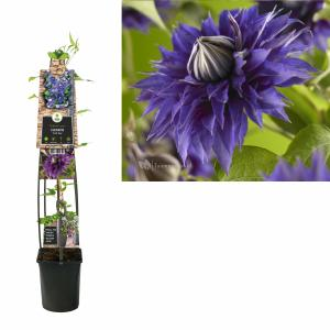 Blauwe bosrank (Clematis Multi Blue) klimplant - 120 cm - 1 stuks
