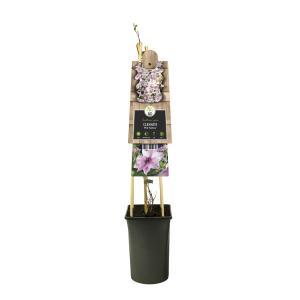 Roze bosrank (Clematis Pink Fantasy) klimplant