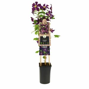 Donkerpaarse bosrank (Clematis Romantika) klimplant