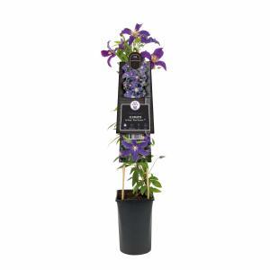 Blauwe bosrank (Clematis SoMany® Blue Flowers PBR) klimplant