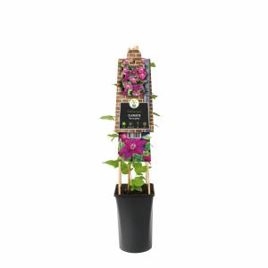 Rode bosrank (Clematis Westerplatte) klimplant