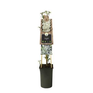 Witte bosrank (Clematis Joe) klimplant