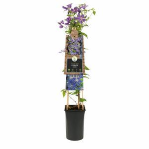 """Blauwe bosrank (Clematis """"Arabella"""") klimplant"""