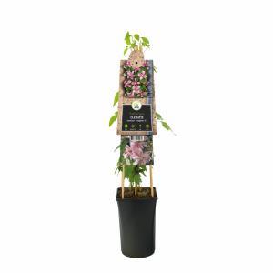 Roze bosrank (Clematis montana Broughton Star) klimplant